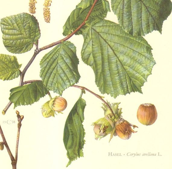 21 best hazelnuts images on pinterest hazelnut tree fruit and 1958 leaves nuts and catkins of the common by cabinetoftreasures 1695 publicscrutiny Image collections