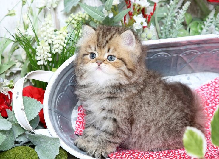 Teddy - Click Here - Ultra Rare Persian Kittens For Sale - (660) 292-2222 - Located in Northern Missouri (Shipping Available)Ultra Rare Persian Kittens For Sale – (660) 292-2222 – Located in Northern Missouri (Shipping  Available)