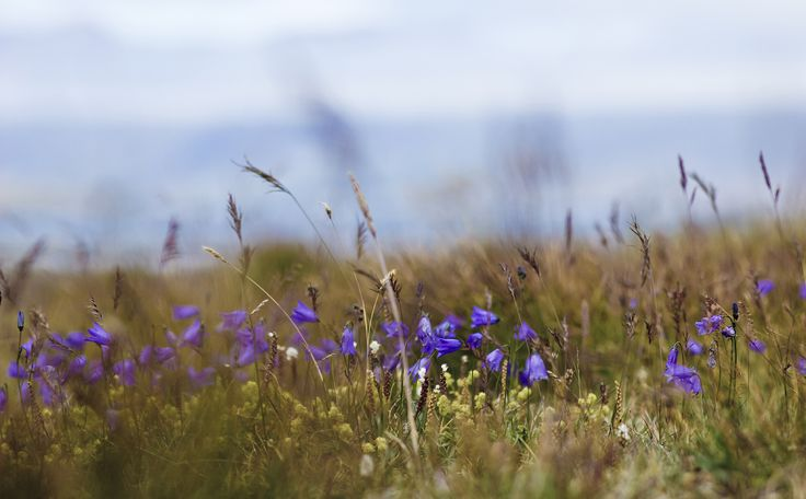 Icelandic flowers. Amazing Iceland.  Íslensk blóm.