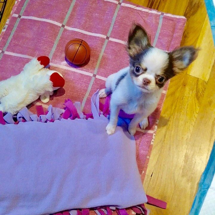 Korean Teacup Tiny Toy Chihuahua Puppy Available Now She Is So
