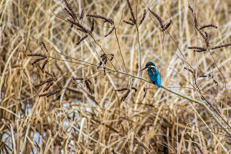 """Common kingfisher on the riverside, or as we call it, """"jégmadár"""" (icebird)."""