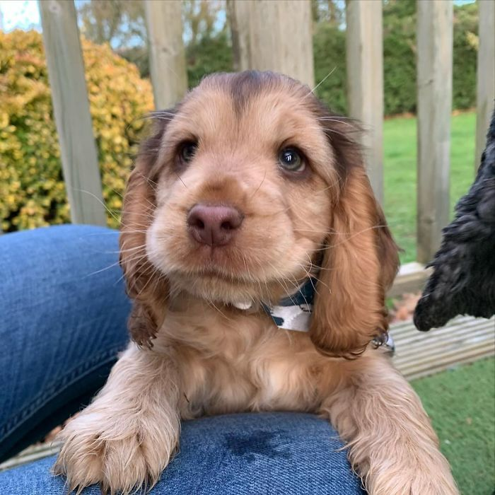 Meet Winnie The Cocker Spaniel That Looks Like A Real Life Disney Character In 2020 Winnie Dogs Puppy Eyes Cocker Spaniel Puppies