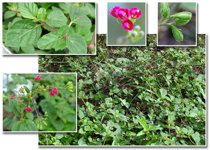 preservation of medicinal plants Widely used medicinal plants and simple preparations guidelines for the as-sessment of herbal medicines were subsequently prepared by who and.