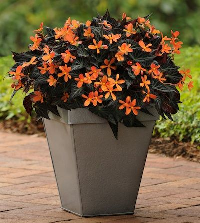 Sparks Will Fly is a show-stopper Begonia SparksWillFly a container