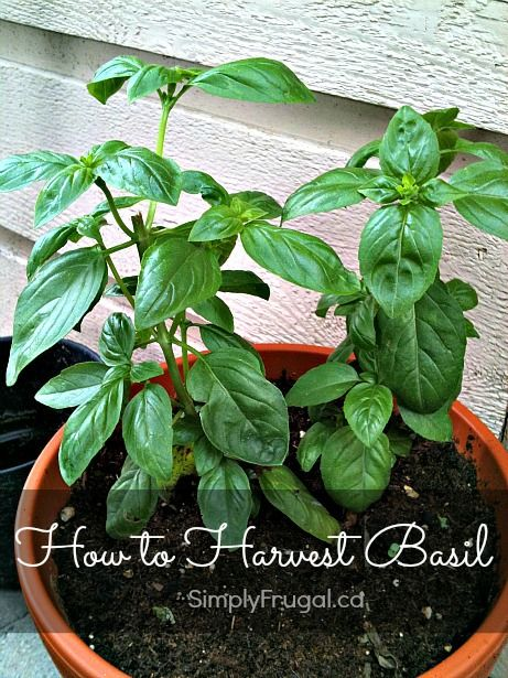 I'm back with another video! This time it's all about how to harvest basil. The way I show in the video will allow your plant to grow bushier, which means you should have plenty of basil leaves to enjoy all season long! When harvesting basil, it's best to pinch off a piece of the stem […]