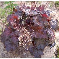 Purppurakeijunkukka Heuchera americana Palace Purple