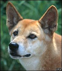 Looks like Lexie - breed is a Carolina Dog (aka American Dingo).