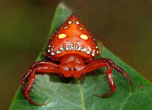Driehoekige spin (Tasmanié in Australië)