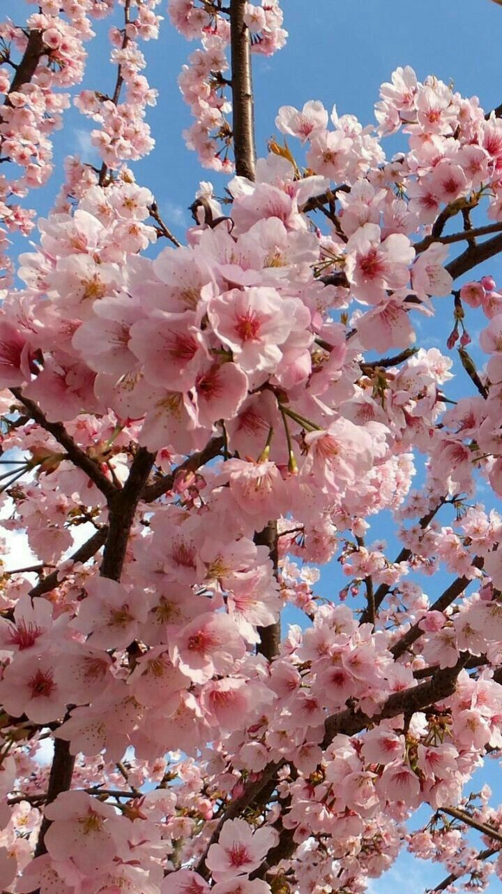 Beautiful Pink Flowers Nature In 2020 Cherry Blossom Wallpaper Spring Wallpaper Beautiful Flowers Wallpapers