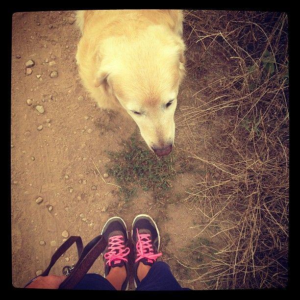 Passeggiate campestri..  #aaron #dog #goldenretriver #instadog #nike #thevertigoway