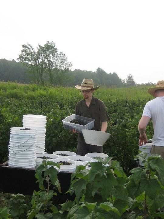 Harvesting currants. #PYO #Vermont #VT #Springfield