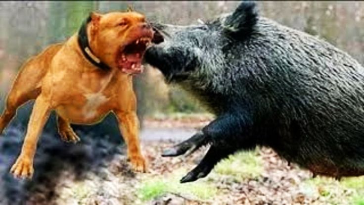 lucky hunting on wild boar with pitbull !!!  WILD BOAR HUNTING. http://riflescopescenter.com/category/bushnell-riflescope-reviews/