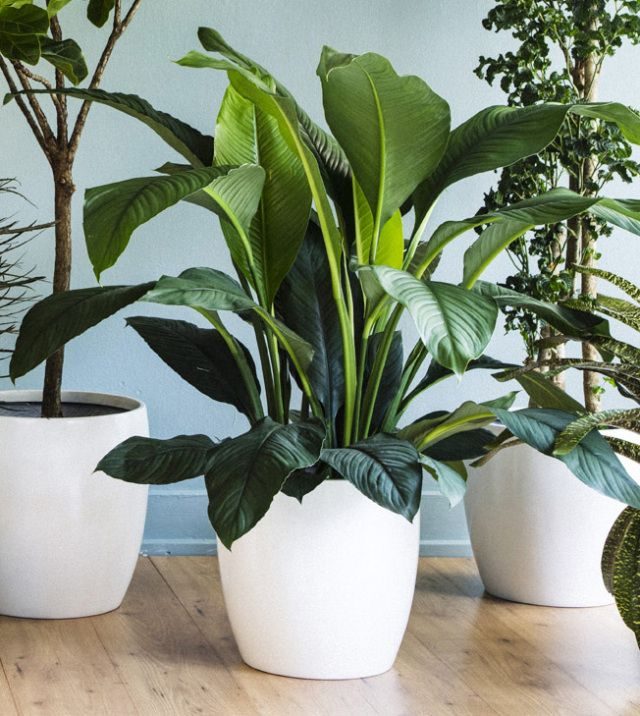 the 3 best houseplantsand how to keep them alive tall plantspot plantsflower - Tall Flowering House Plants
