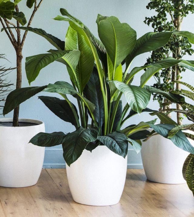 the 3 best houseplantsand how to keep them alive tall plantspot plantsflower - Tall Flowering House Plants