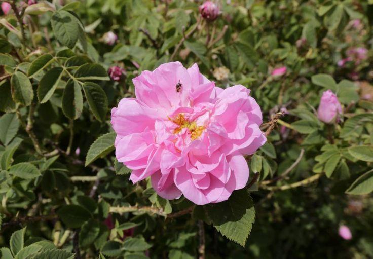 La rosa de Damasco se marchita por la guerra en Siria | Conflicto, Flores, Irán, Sequía, Siria, Turquía