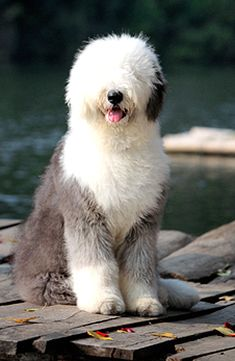 """Old English Sheepdog-if this precious angel doesn't make you sit back and say...""""let's just be happy people,"""" I don't know what will kids:)"""