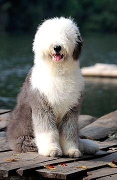 Old English Sheep Dog just like Nana from Peter Pan. I want one!