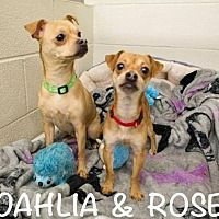 Pictures of Rose a Chihuahua for adoption in St Helens, OR who needs a loving home.
