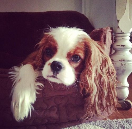 Dear Mom, Today I wanted breakfast in bed. Love, Finley #cavalierkingcharles