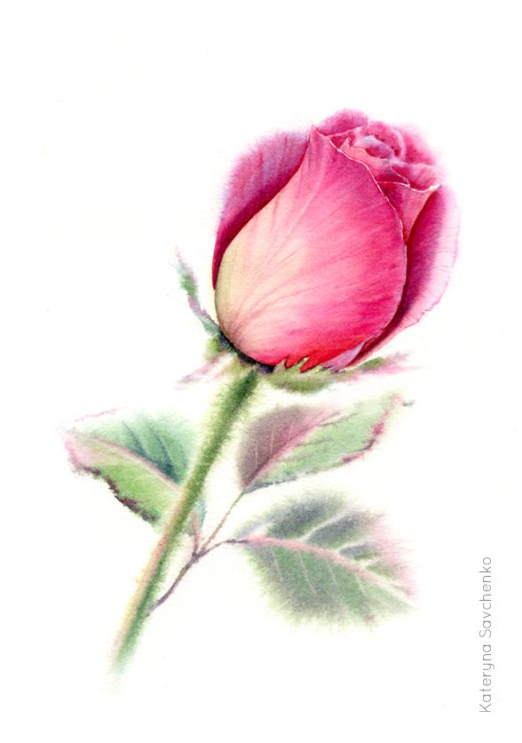 Watercolor Pink Rose Floral Painting By Kateryna Savchenko Wet In