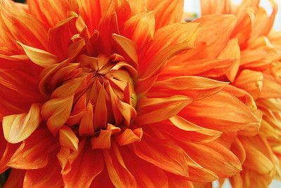 notablegem:  Fireball dahlia on Flickr.
