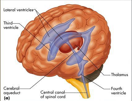 TJ . The lateral ventricles are part of the ventricular system of the brain. Both cerebral hemispheres contain a lateral ventricle. The lateral ventricles are the largest of the ventricles.  Each lateral ventricle resembles a C-shaped structure that begins at an inferior horn in the temporal lobe, travels through a body in the parietal lobe and frontal lobe, and ultimately terminates at the interventricular foramina where each lateral ventricle connects to the central third ventricle. Along…