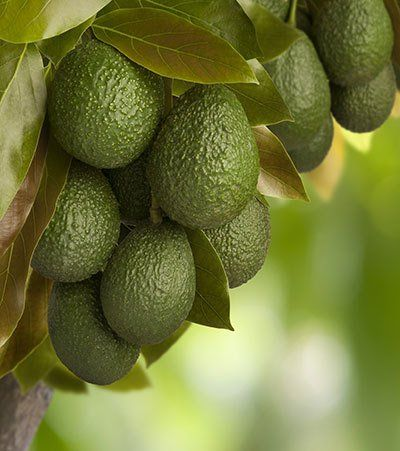 Cold Hardy Avocado for Sale