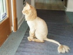 Going to do this to my cat solve some hair issues and amuse the kids