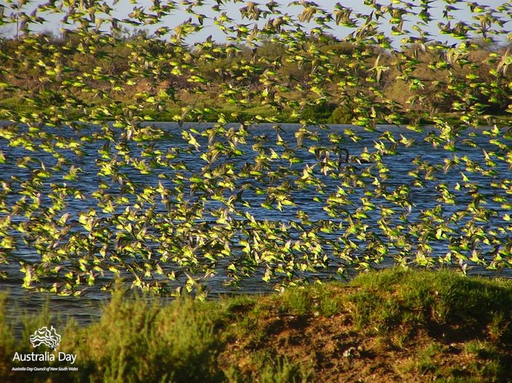 Gorgeous!!! Wild Budgie swarm in the Australia