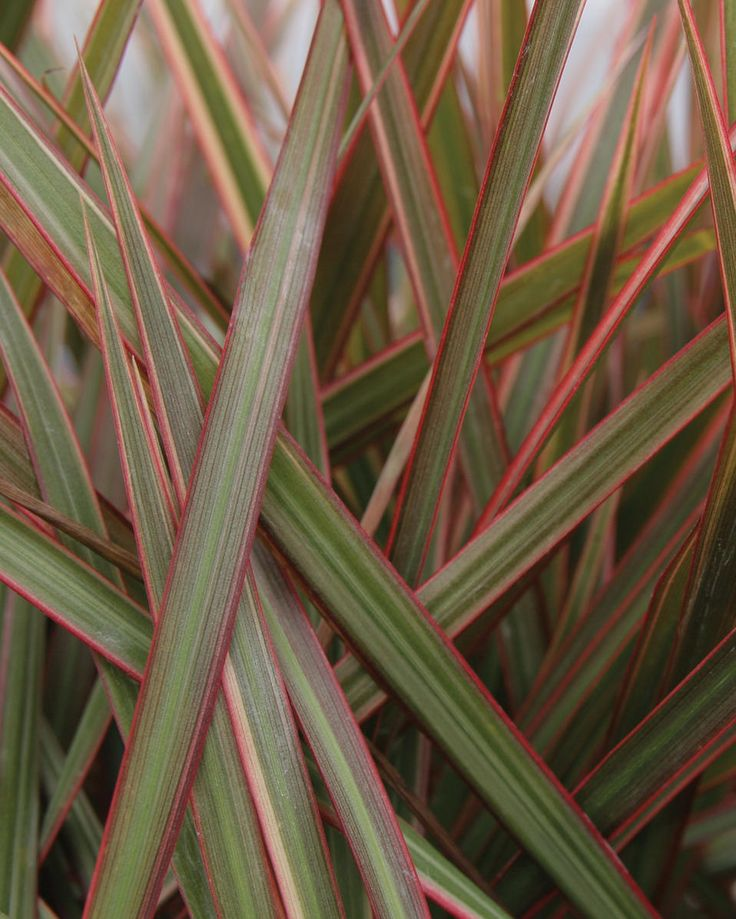 17 best images about cordyline dracena on pinterest for Plante dracaena