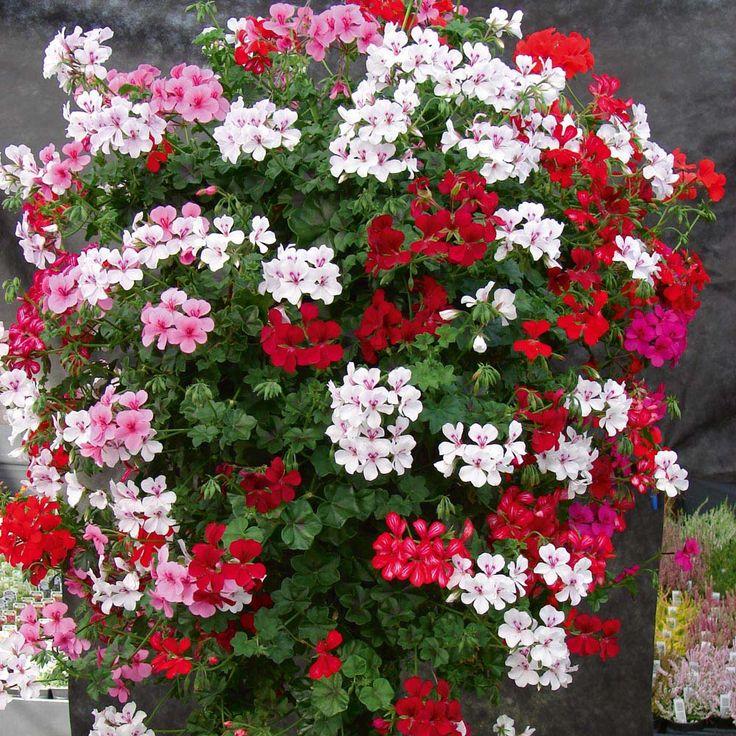 Types Of Geraniums: ... Geraniums Gerainbow Trailing