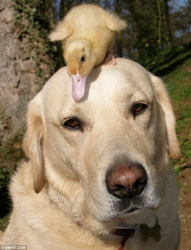Labrador Retriever, Dennis and his BFF Fred!Labrador Retriever, Animal Friendship, Dogs, Baby Ducks, Yellow Labs, Odd Couples, Funny Animal, Friendship Photos, Animal Photos