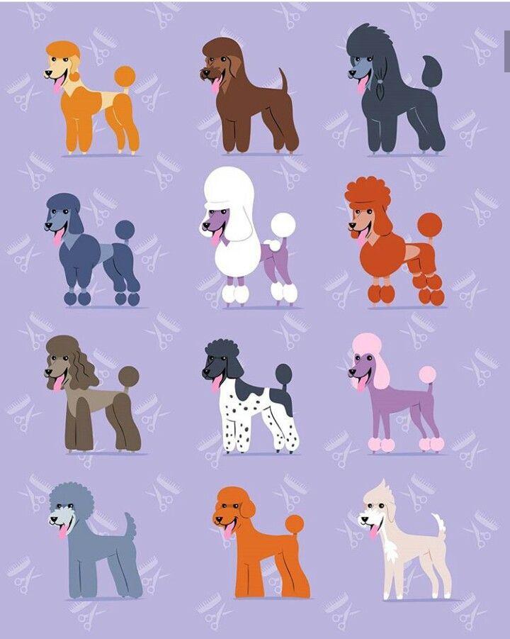 Vintage Standard Poodle Haircuts Poodle Hair Poodle Dog