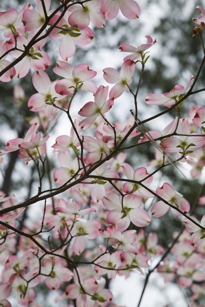 Cornouiller à fleurs ( Cornus florida )