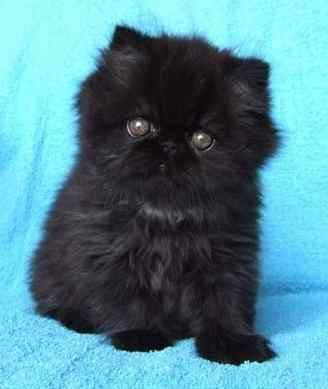 Baby Black Persian kitten! - Spoil your kitty at www.coolcattreehouse.com
