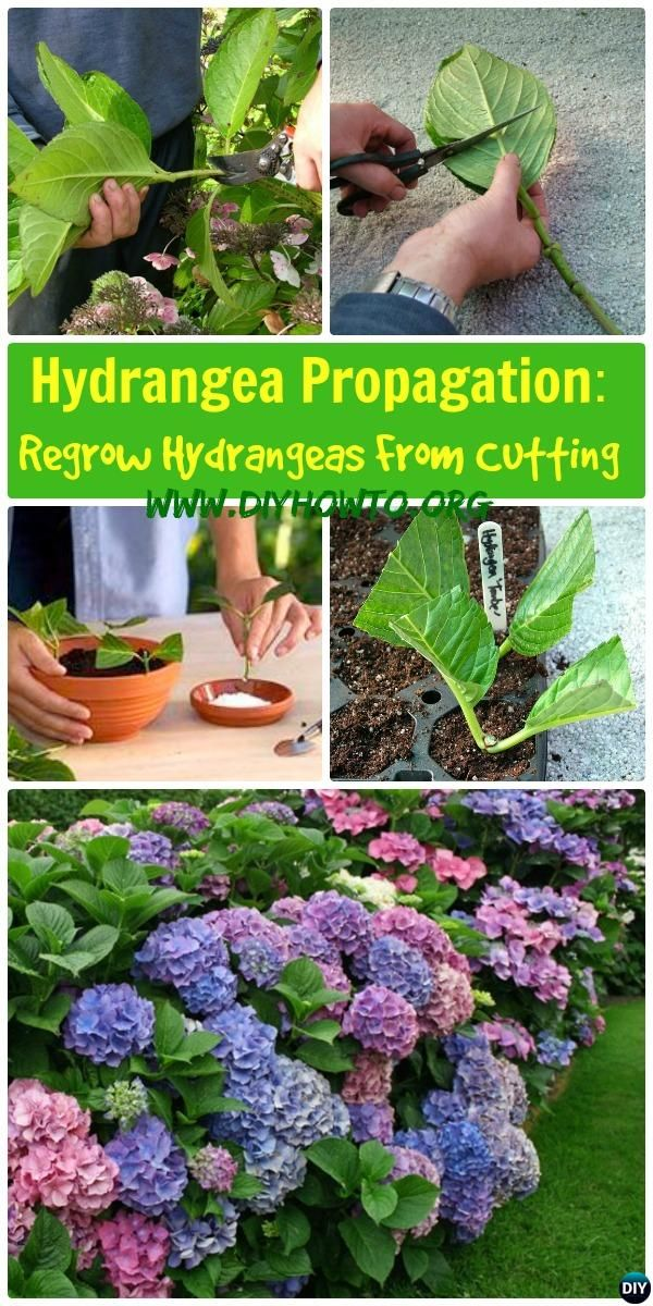 Hydrangea Propagation Regrow Hydrangea From Cutting: Growing Your own hydrangeas from cutting stems and change their colors pink and blue. #Tips #Gardening -->> http://www.diyhowto.org/hydrangea-propagation-regrow-hydrangea-from-cutting/