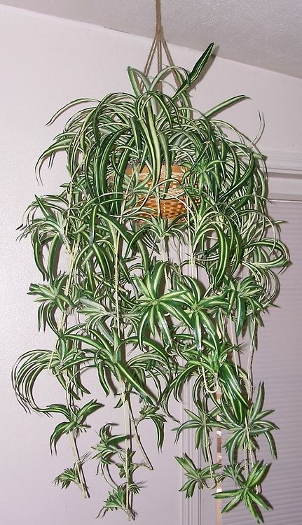 Spider plants in macrame hangers---Yep---I had these hanging everywhere. Spider plants were about the only plant that survived at our house....no green thumbs in our family!