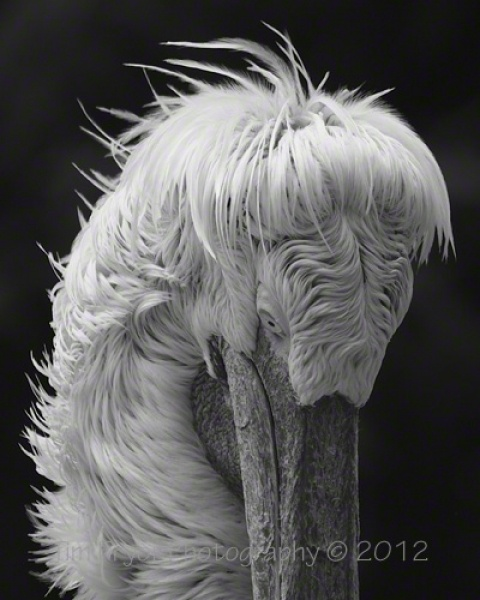 """Tim Pryor - This great character is a Dalmation Pelican. The unique feather formation on this bird makes for an unusual and interesting image which will capture everyone's eye. The image is available as a 14"""" x 10"""" Limited Edition Fine Art Print (2/250). I only use the best fine art paper available which is a natural white Hahnemühle """"William Turner"""" mould paper (matt, 310 g/m²). This paper produces excellent image sharpness and brilliant colour grading pro    £45.00"""