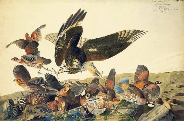 Un grupo de colines de Virginia atacados por un busardo de hombros rojos. El trabajo documental de Audubon, pionero de la ornitología, fue único en su época: ilustraba a los animales con un realismo científico y se afanaba en representarlos en su entorno con rigurosidad