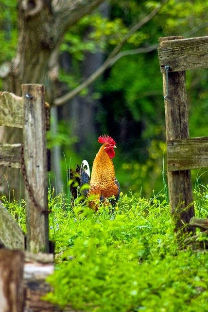 We had bantam chickens at home when we were growing up. Loved the different colors of eggs. CH