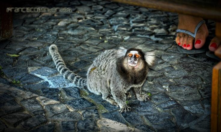 Mono Tití.
