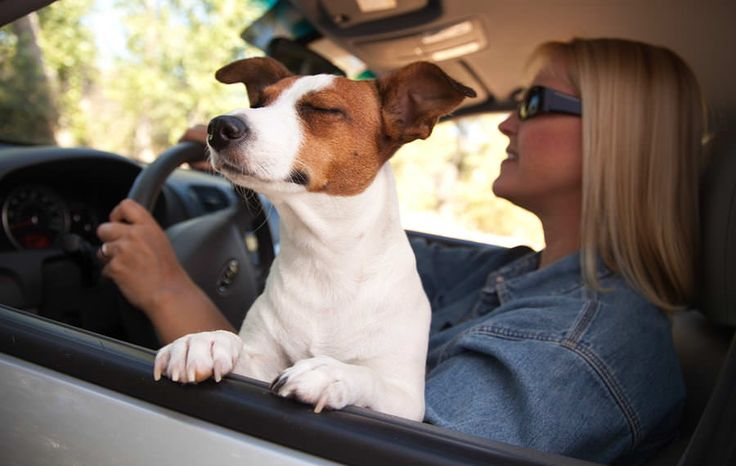 Jack-Russell-Terrier-Enjoying