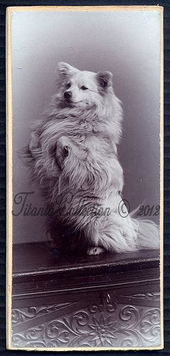 Cute white german spitz dog * CDV
