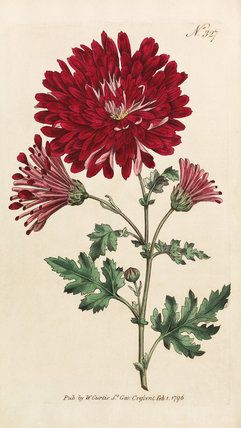 Illustration of Chrysanthemum Indicum (Chrysanthemum morifolium), published in Curtis's Botanical Magazine in 1796.  Date  1796