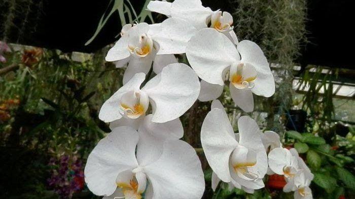 Download Gambar Bunga Anggrek Bulan Anggrek Bulan Tribunnews Com 20 Jenis Bunga Anggrek Khas Indonesia Ini Cocok Untuk Budidaya Di 2020 Anggrek Bunga Wallpaper Bunga
