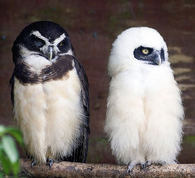Spectacled Owl Mother & Baby by Steve - 1.6 Million+ views - thank you, via Flickr