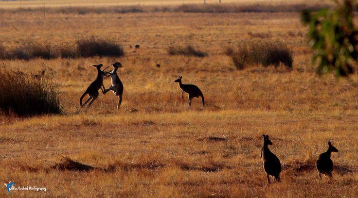 Early morning boxing session #Australia  #kangaroo #boxing