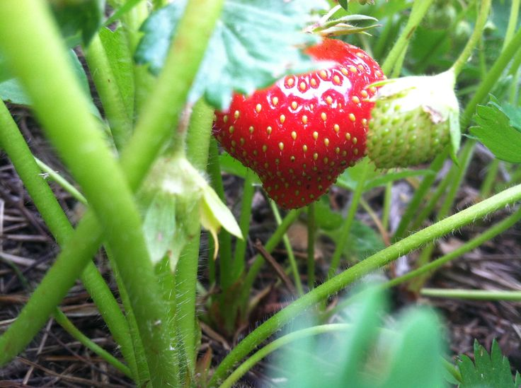 Fertile soil is essential for growing delicious, nutrient-dense strawberries. Adding mulch and compost to your soil will help increase fertility and build soil structure (and the earthworms will love you). Before you plant, you can also test your dirt for any mineral deficiencies. The World Ark Magazine has more tips for maintaining healthy soil and growing your own strawberry patch!