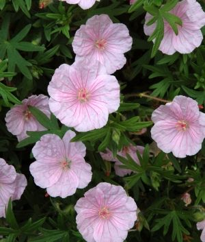 "Cranesbill Nursery - Geranium sanguine ""Striatum"" - 9"" - flowers May-Sept"