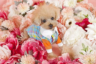 A tea cup poodle dressed in fashionable clothes surrounded by chrimson and pink flowers,a summer season feel.